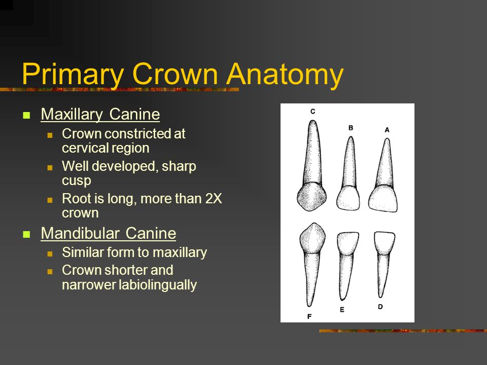 Primary Crown Anatomy Maxillary Canine Mandibular Canine