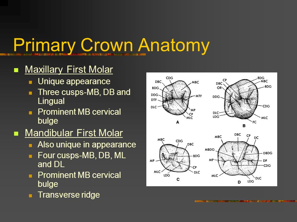 Primary Crown Anatomy Maxillary First Molar Mandibular First Molar