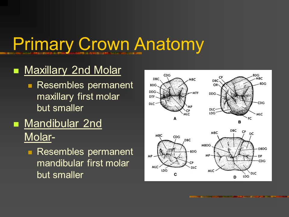 Primary Crown Anatomy Maxillary 2nd Molar Mandibular 2nd Molar-