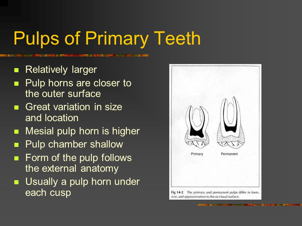 Pulps of Primary Teeth Relatively larger