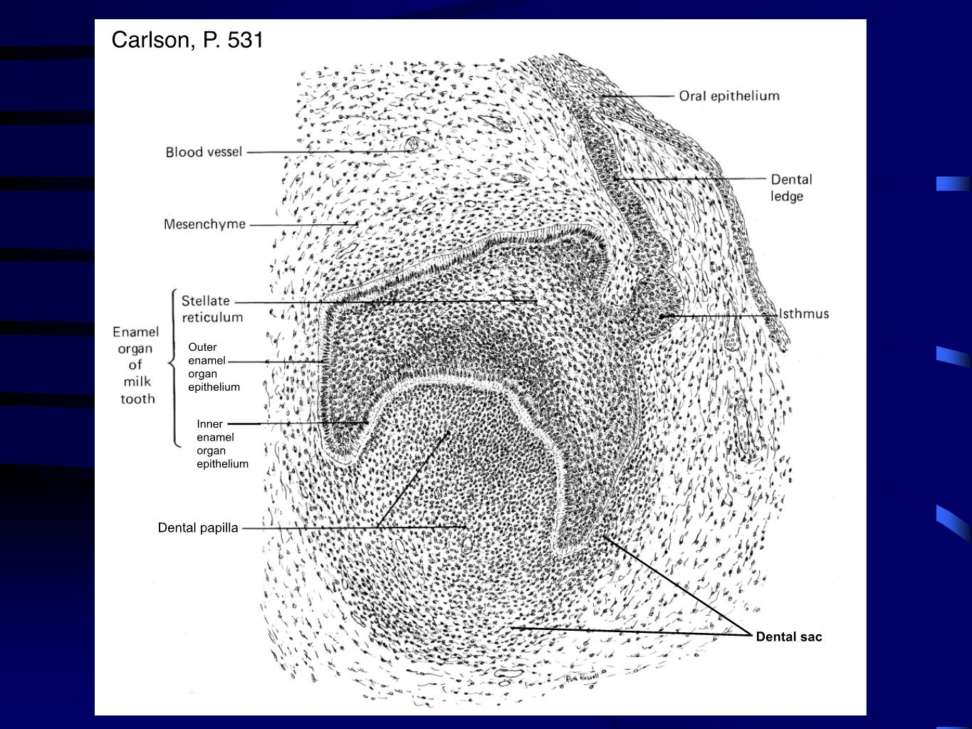 P. 531, Fig. 16-15, Carlson Dental papilla