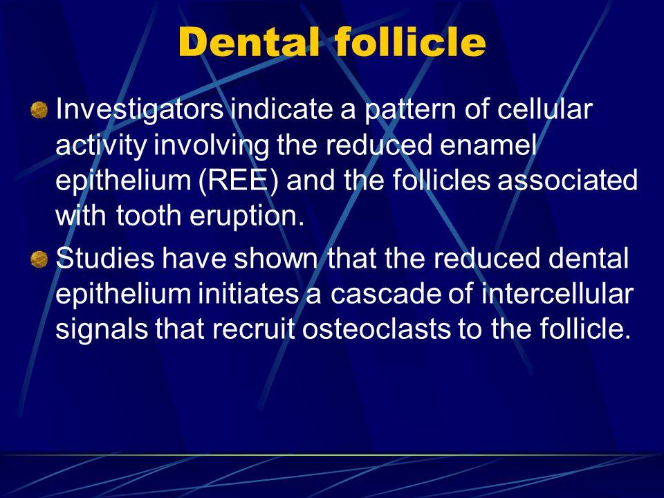 Dental follicle