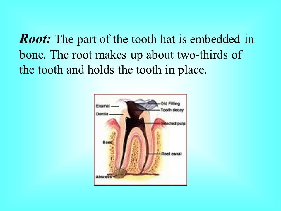 Root: The part of the tooth hat is embedded in bone