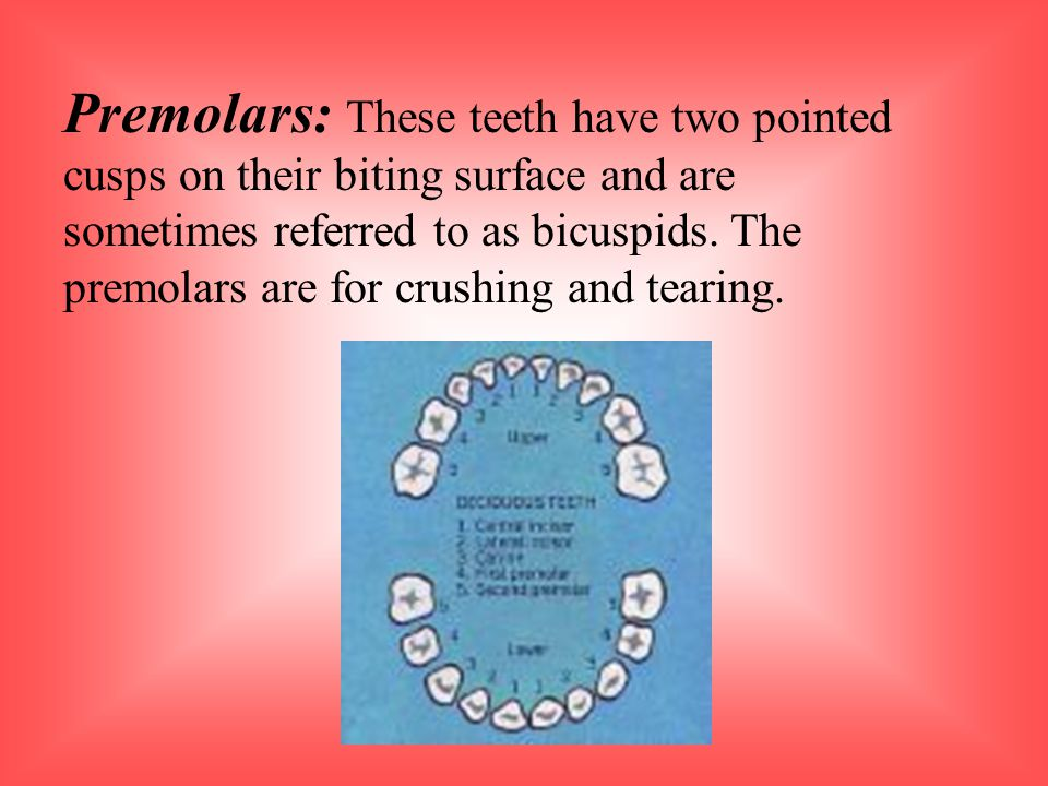 Premolars: These teeth have two pointed cusps on their biting surface and are sometimes referred to as bicuspids.