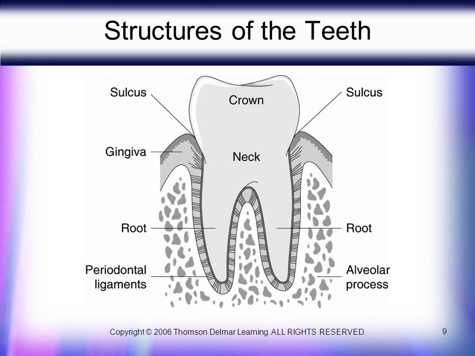 Structures of the Teeth