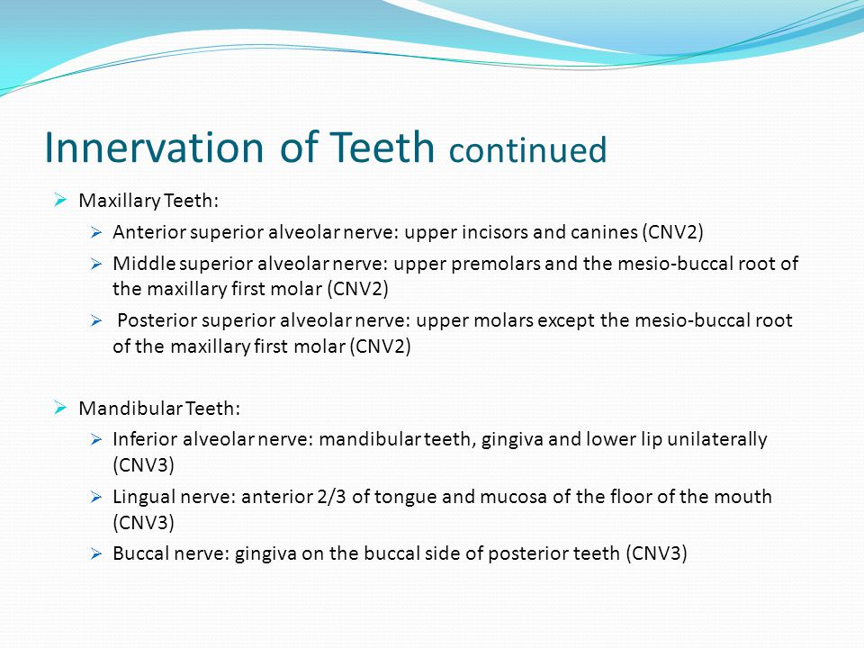 Innervation of Teeth continued