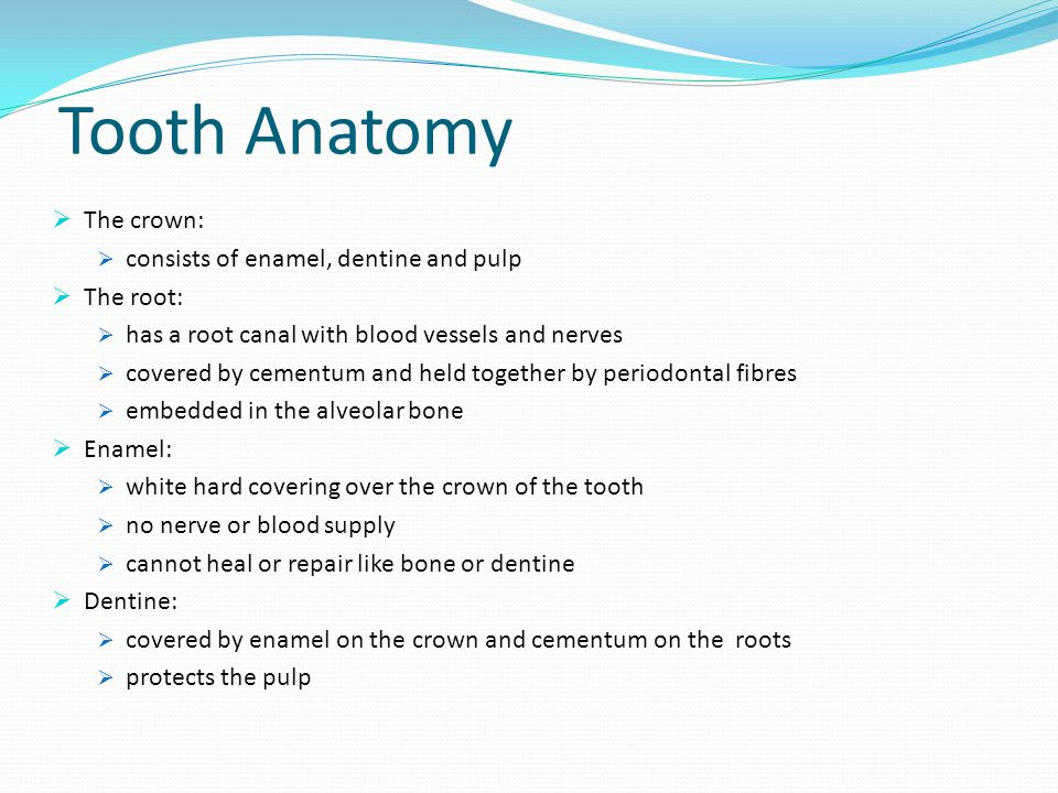 Tooth Anatomy The crown: consists of enamel, dentine and pulp