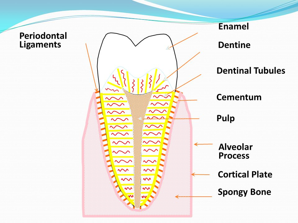 the anatomy physiology and morphology of teeth ppt