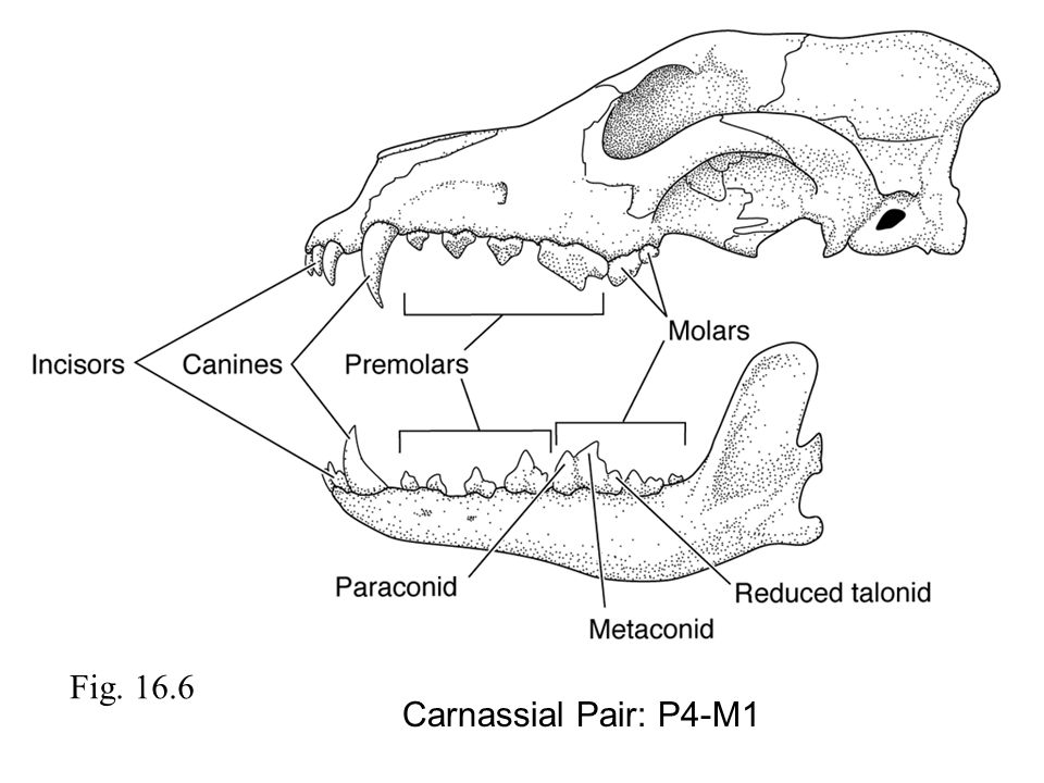 Fig. 16.6 Carnassial Pair: P4-M1
