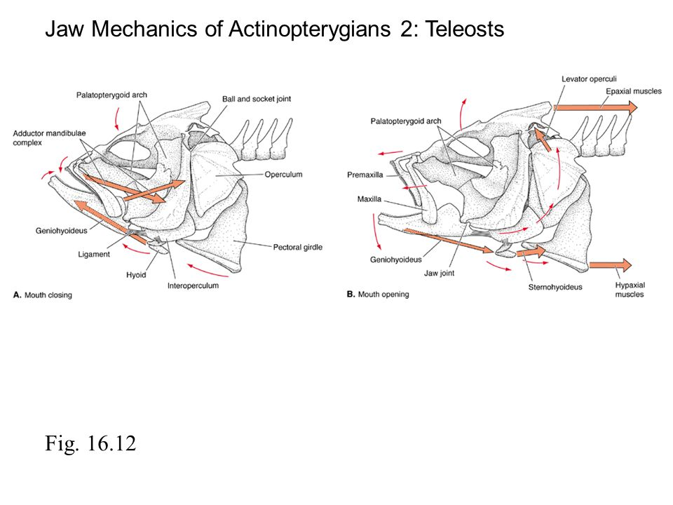 Jaw Mechanics of Actinopterygians 2: Teleosts