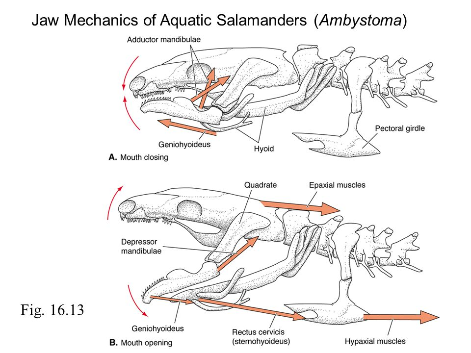 Jaw Mechanics of Aquatic Salamanders (Ambystoma)