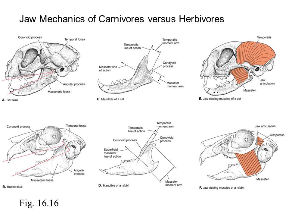 Jaw Mechanics of Carnivores versus Herbivores