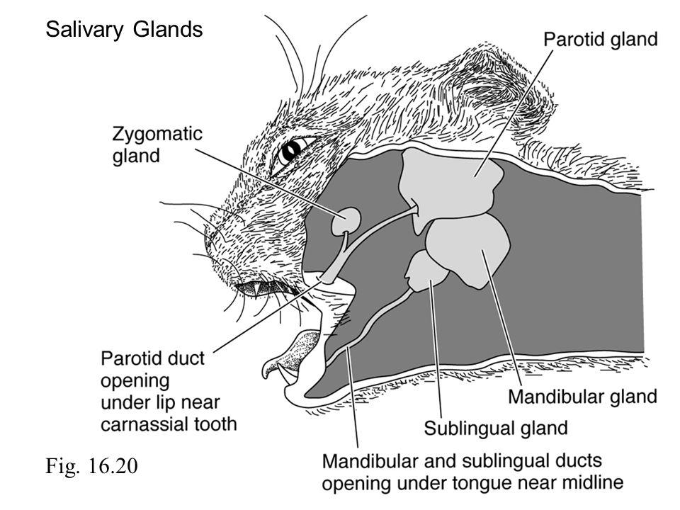 Salivary Glands Fig. 16.20