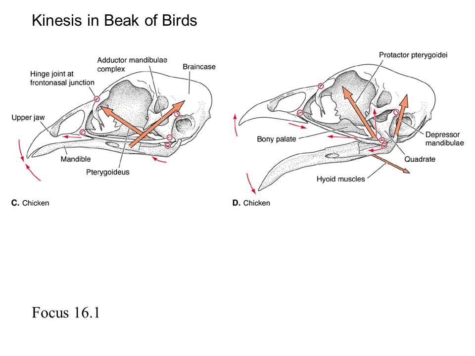 Kinesis in Beak of Birds