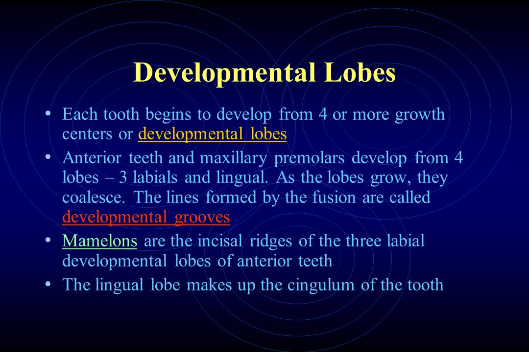 Developmental Lobes Each tooth begins to develop from 4 or more growth centers or developmental lobes.