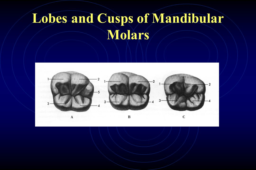 Lobes and Cusps of Mandibular Molars