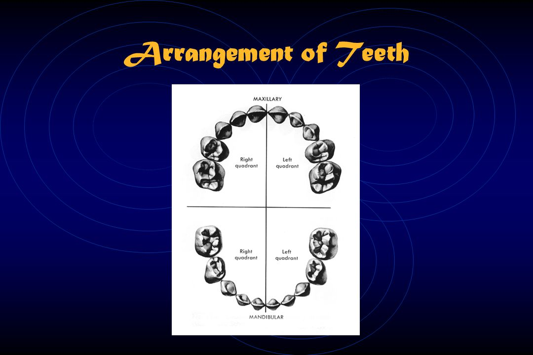 Arrangement of Teeth