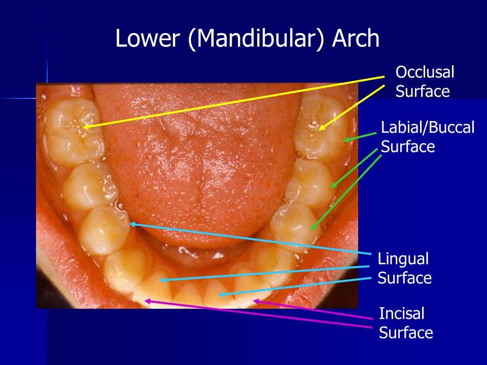 Lower (Mandibular) Arch