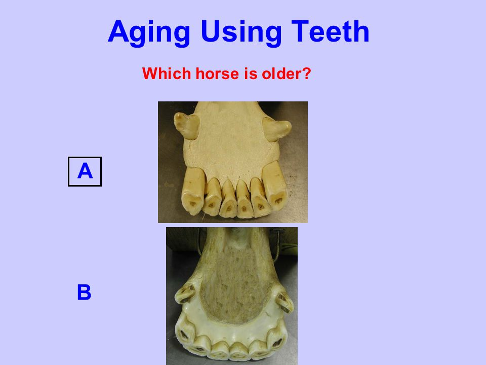 Aging Using Teeth Which horse is older A B