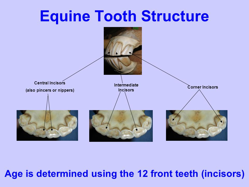 Equine Tooth Structure