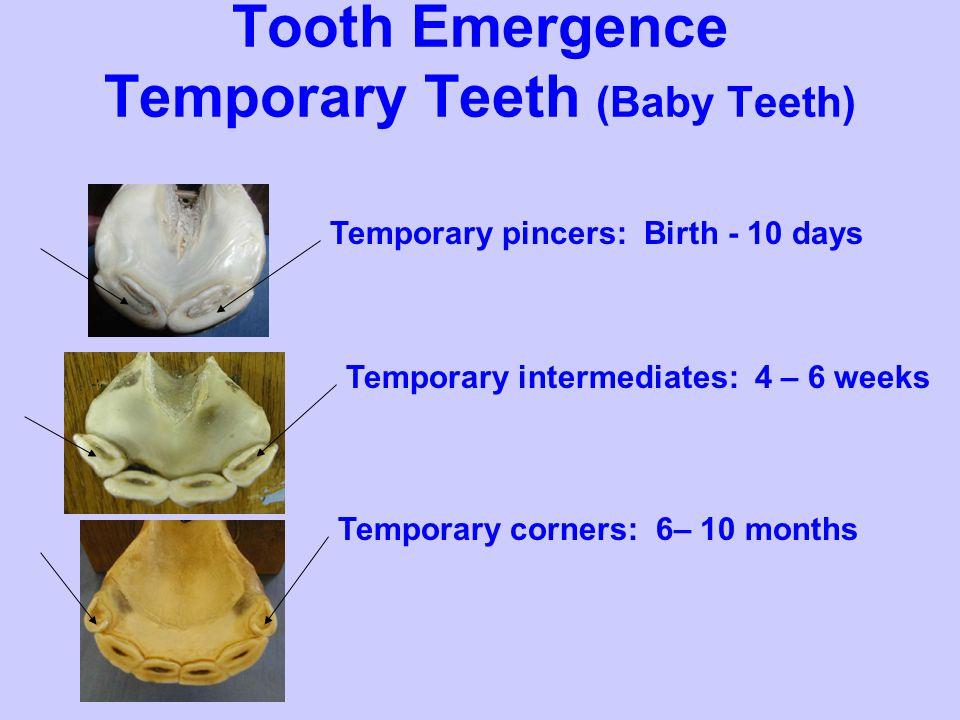 Tooth Emergence Temporary Teeth (Baby Teeth)