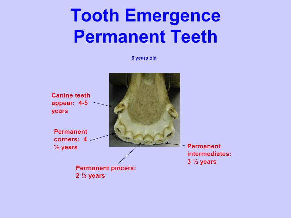Tooth Emergence Permanent Teeth
