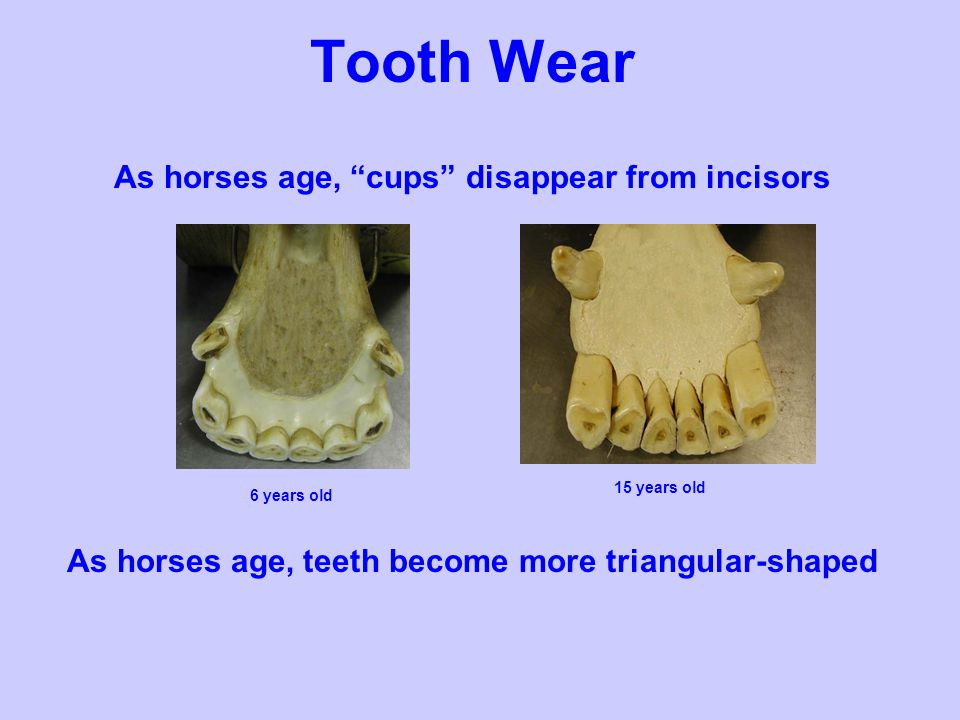 Tooth Wear As horses age, cups disappear from incisors