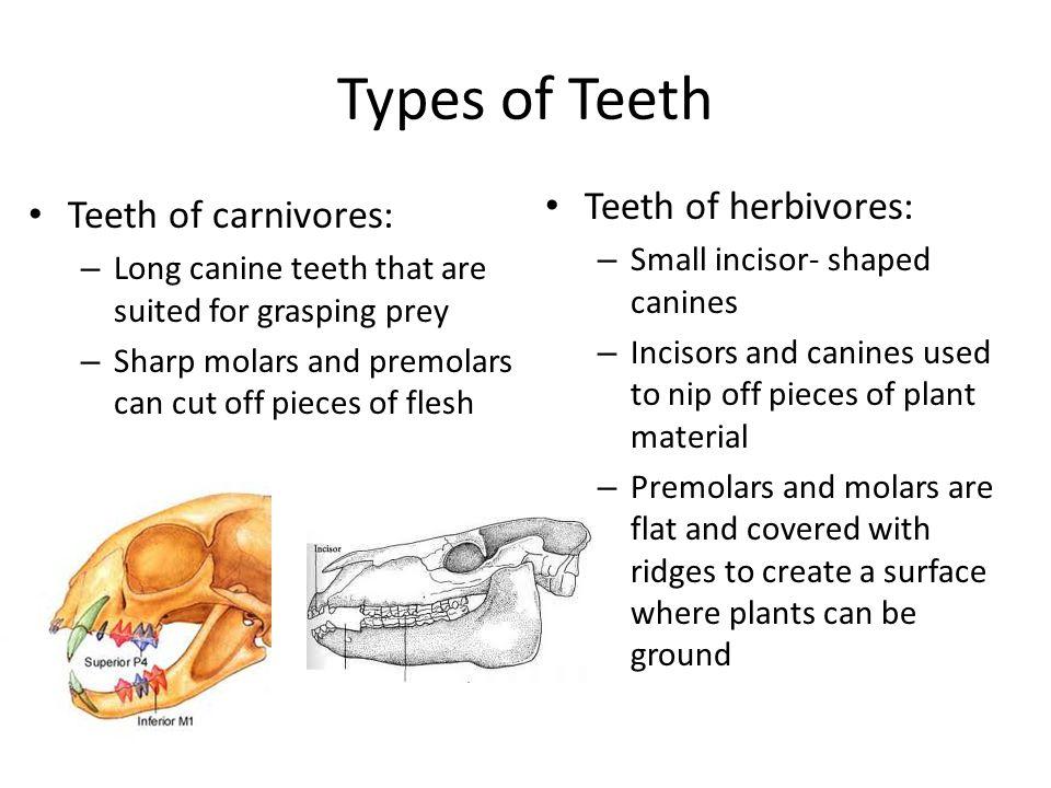 Types of Teeth Teeth of herbivores: Teeth of carnivores: