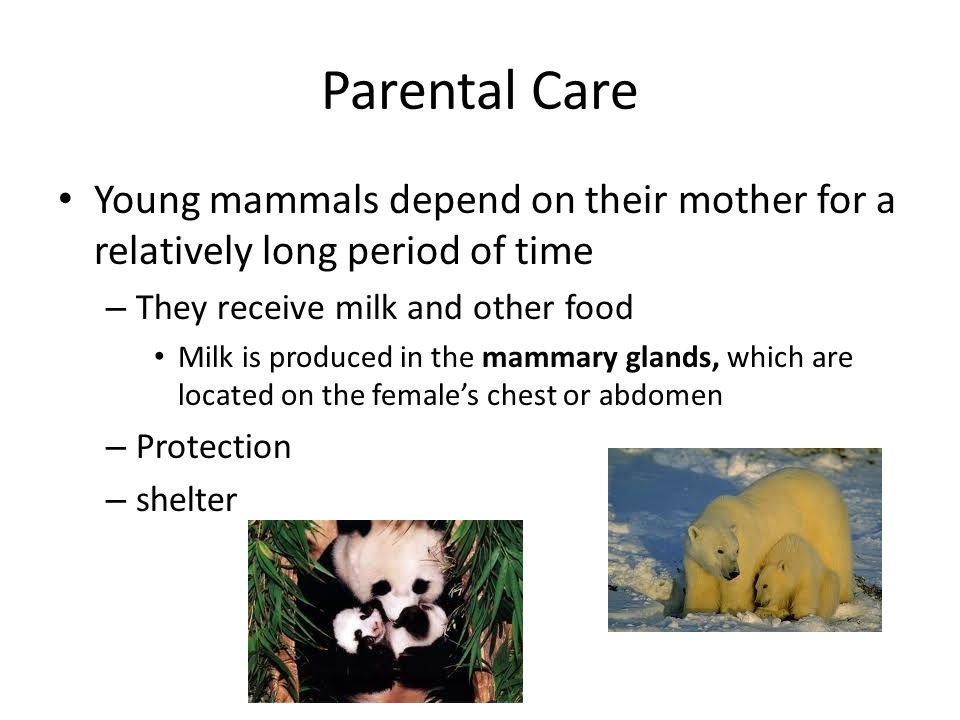 Parental Care Young mammals depend on their mother for a relatively long period of time. They receive milk and other food.