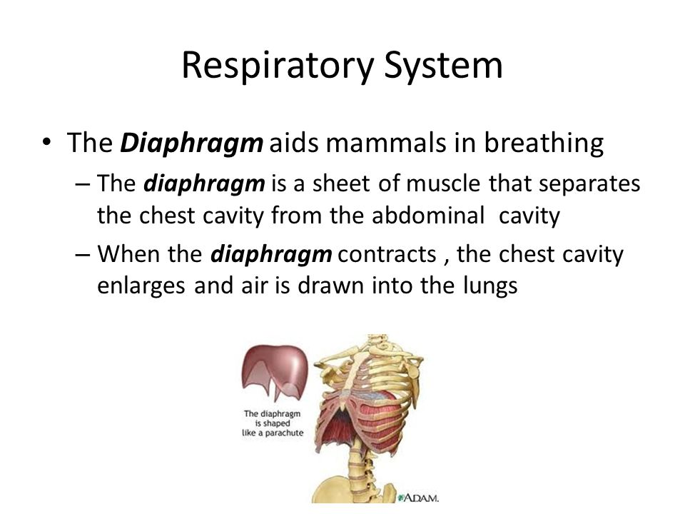 Respiratory System The Diaphragm aids mammals in breathing