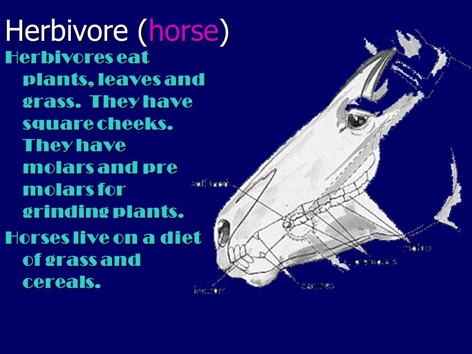 Herbivore (horse) Herbivores eat plants, leaves and grass. They have square cheeks. They have molars and pre molars for grinding plants.