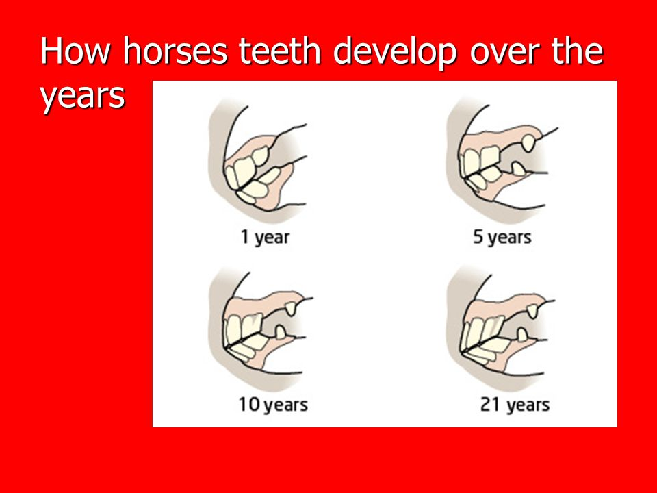 How horses teeth develop over the years