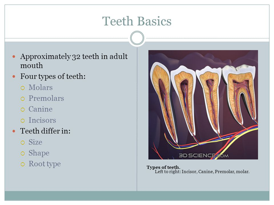 Teeth Basics Approximately 32 teeth in adult mouth