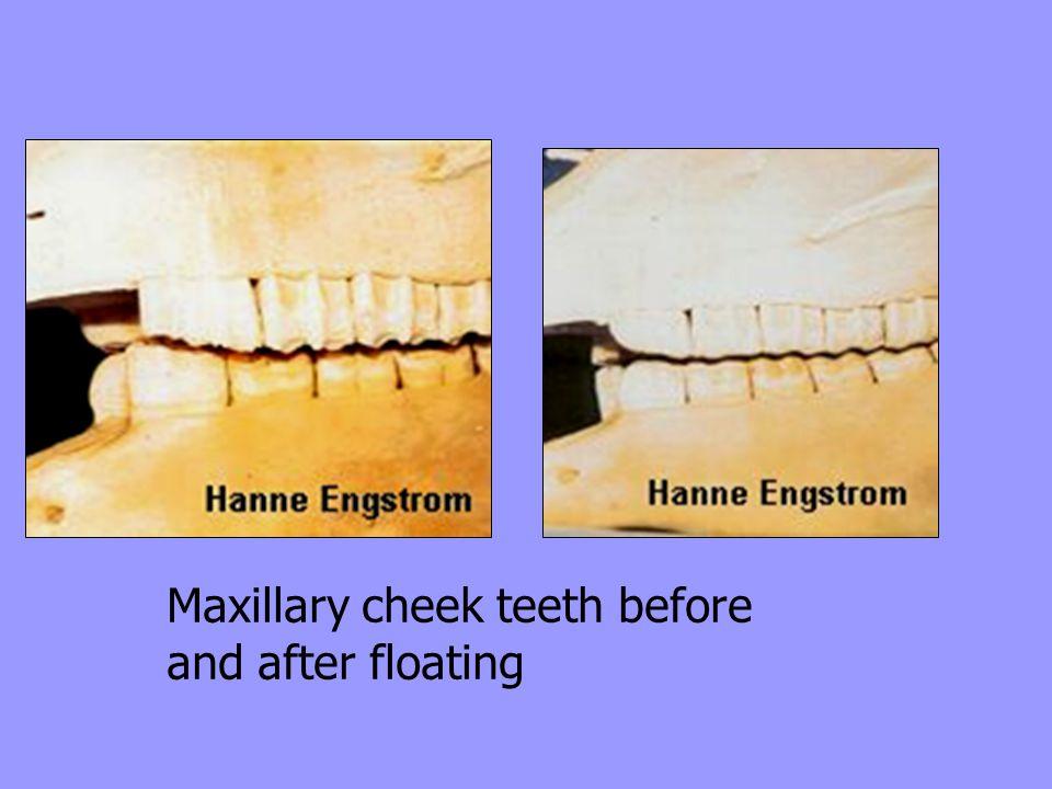 Maxillary cheek teeth before