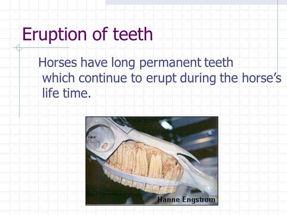 Eruption of teeth Horses have long permanent teeth