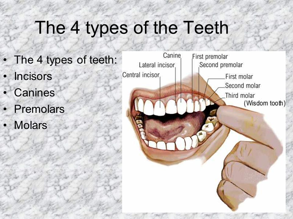 The 4 types of the Teeth The 4 types of teeth: Incisors Canines