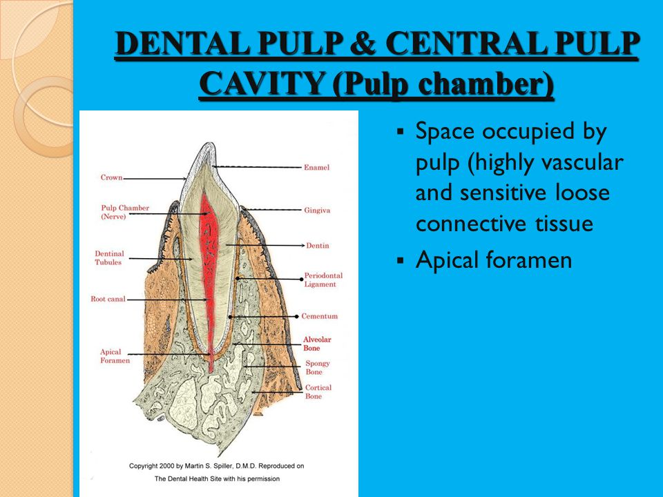 DENTAL PULP & CENTRAL PULP CAVITY (Pulp chamber)