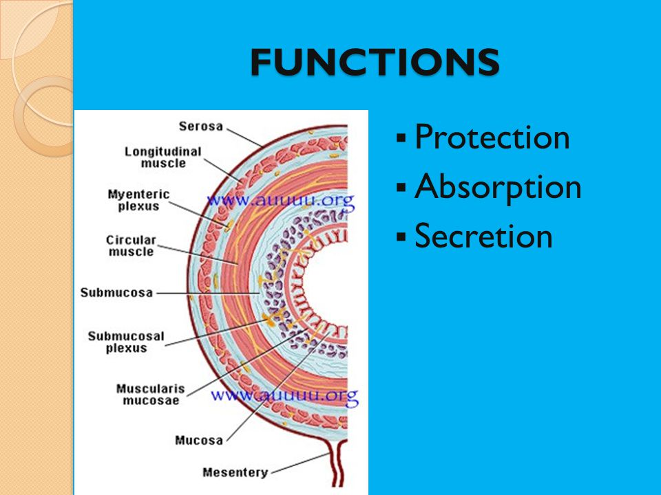 FUNCTIONS Protection Absorption Secretion