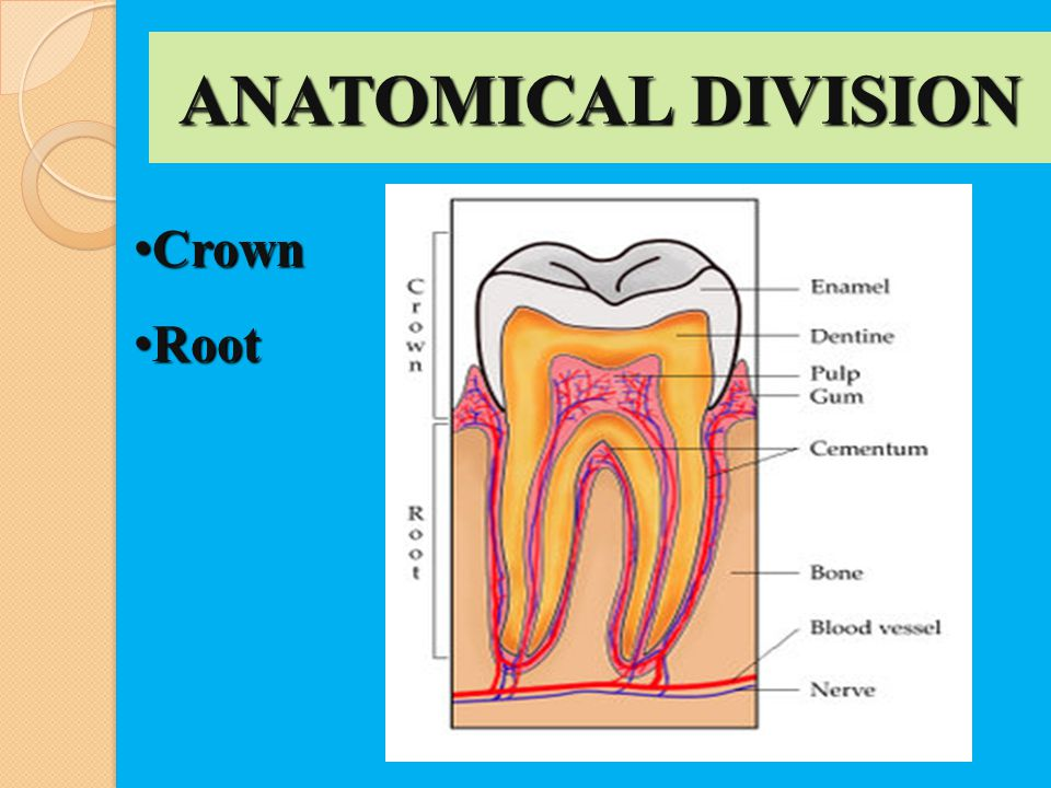 ANATOMICAL DIVISION Crown Root