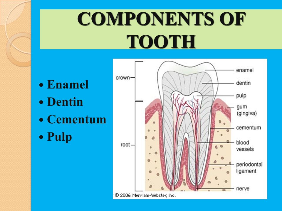COMPONENTS OF TOOTH Enamel Dentin Cementum Pulp