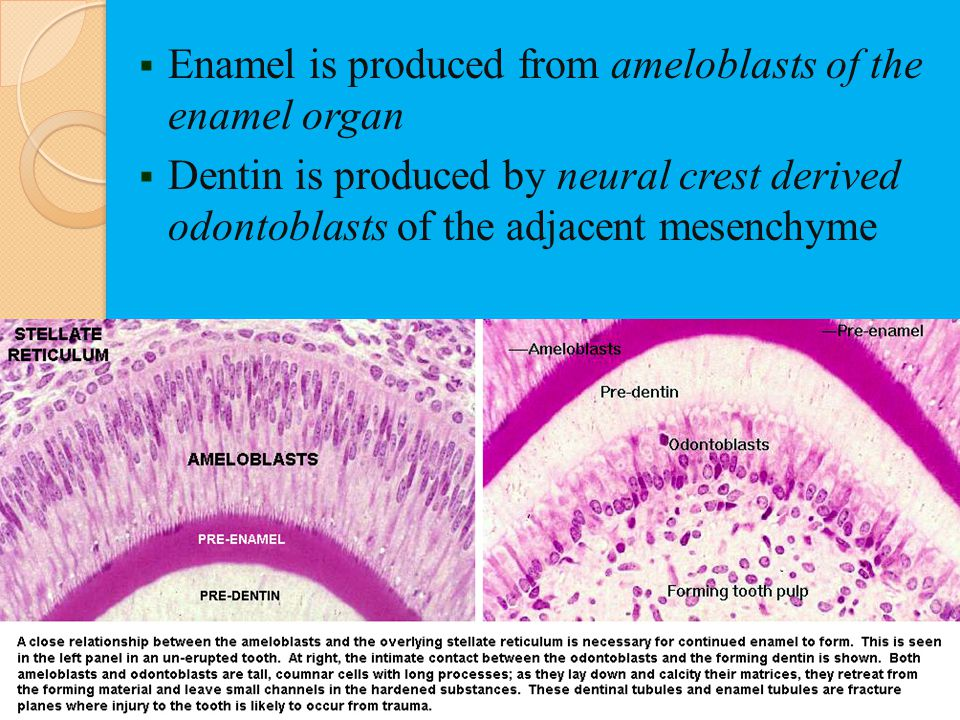 Enamel is produced from ameloblasts of the enamel organ