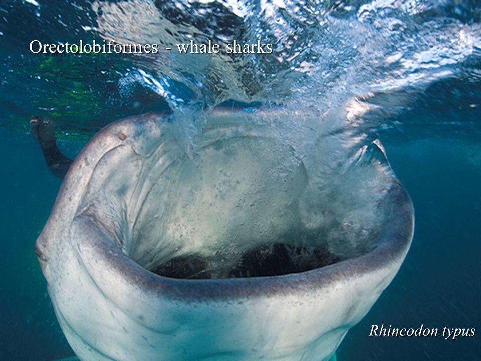 Orectolobiformes - whale sharks