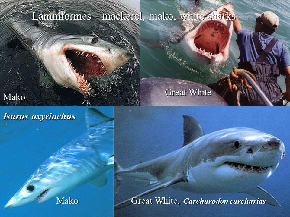 Lamniformes - mackerel, mako, white sharks