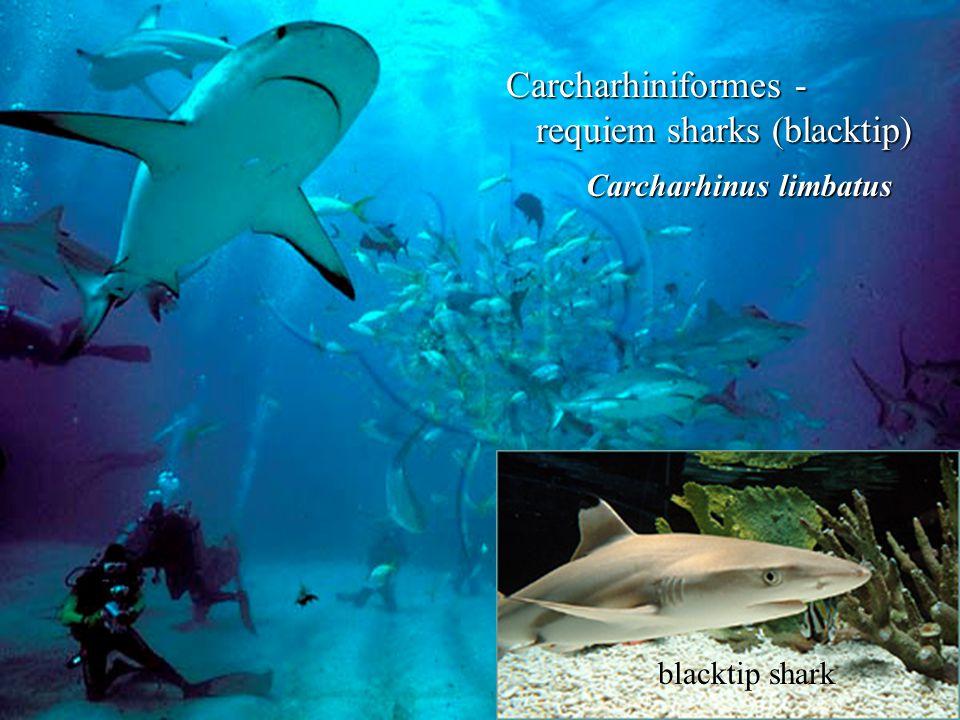 Carcharhiniformes - requiem sharks (blacktip)