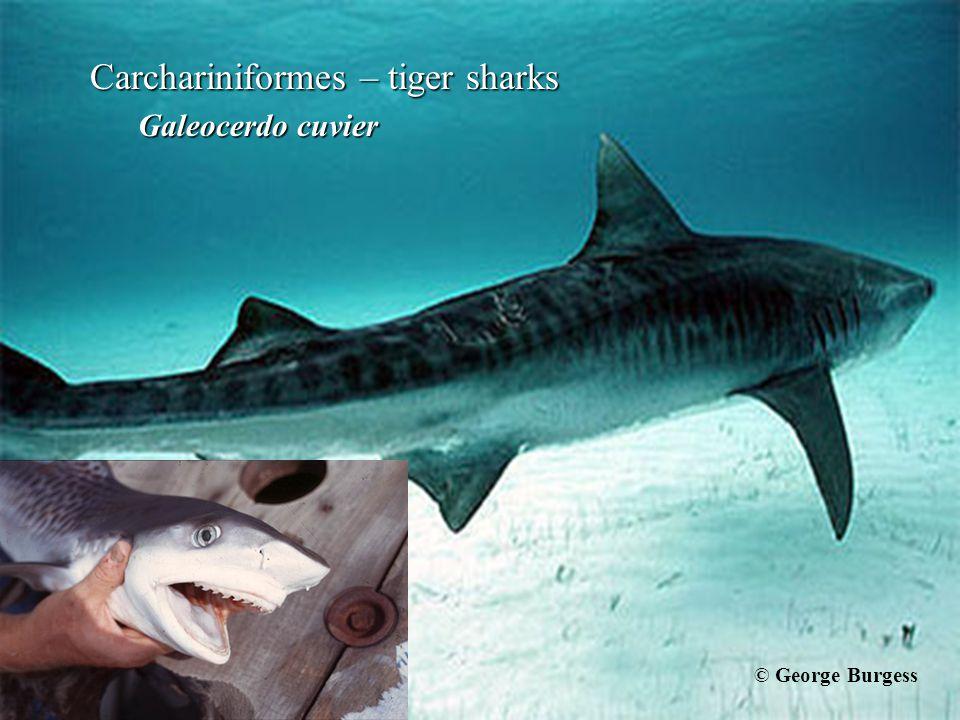 Carchariniformes – tiger sharks