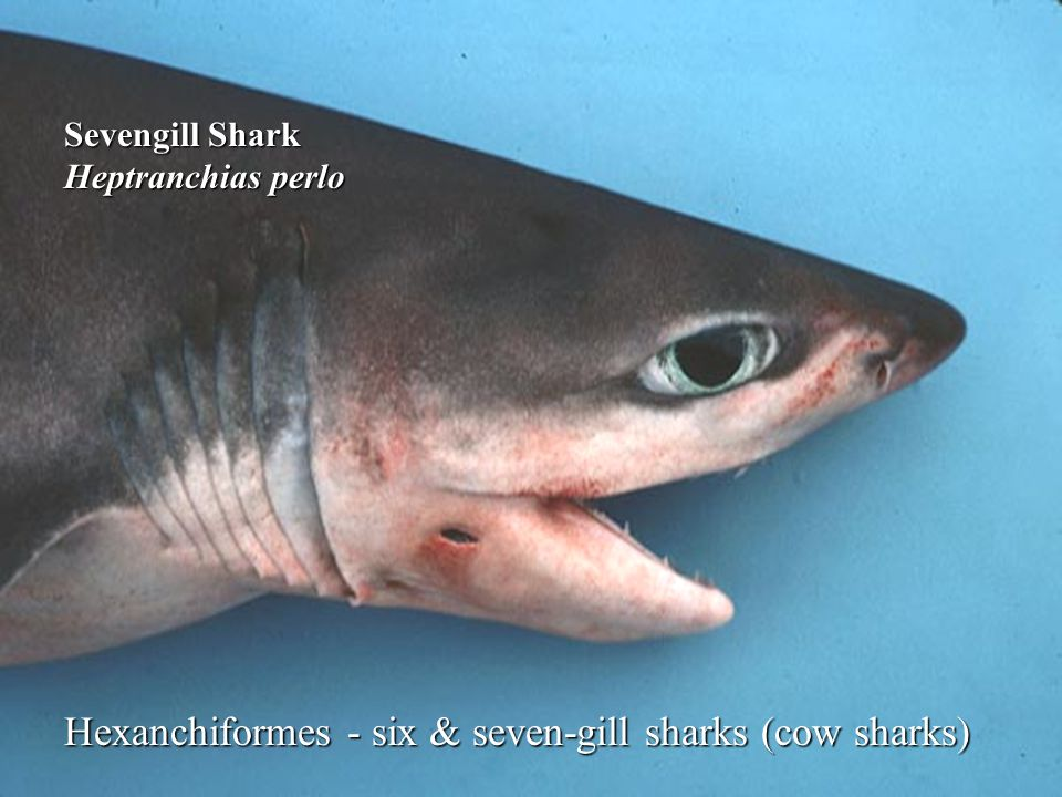 Hexanchiformes - six & seven-gill sharks (cow sharks)