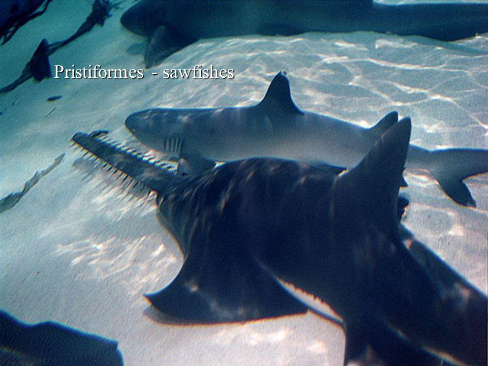 Pristiformes - sawfishes