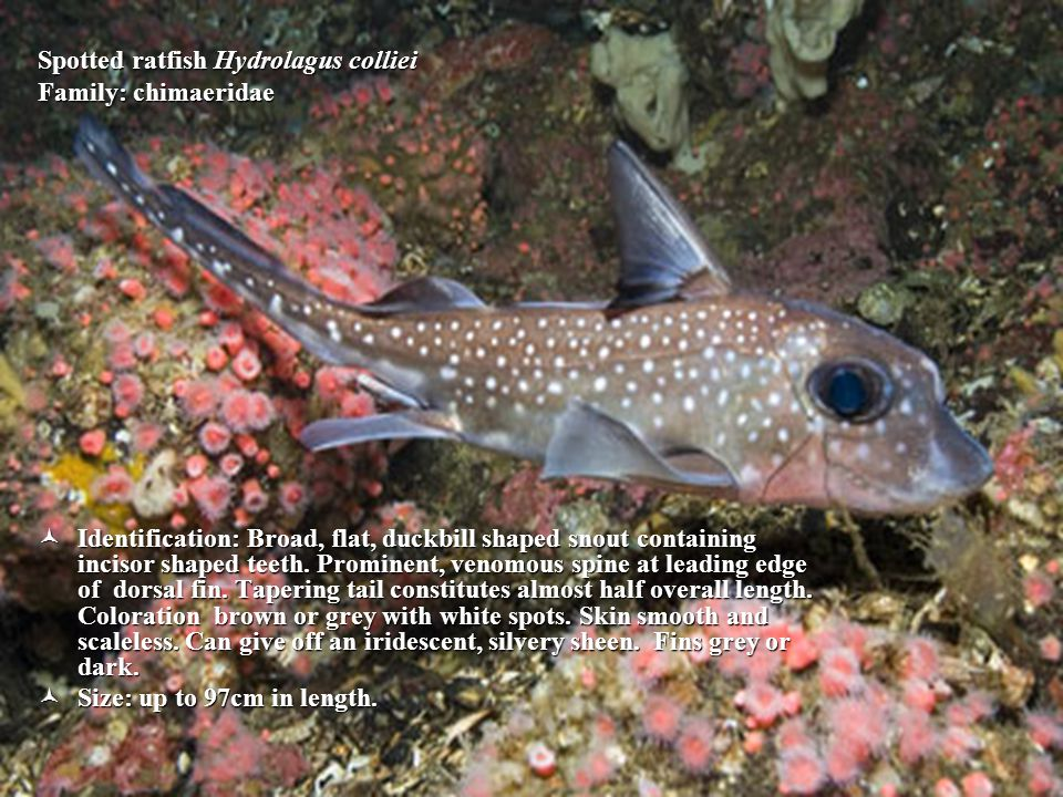 Spotted ratfish Hydrolagus colliei