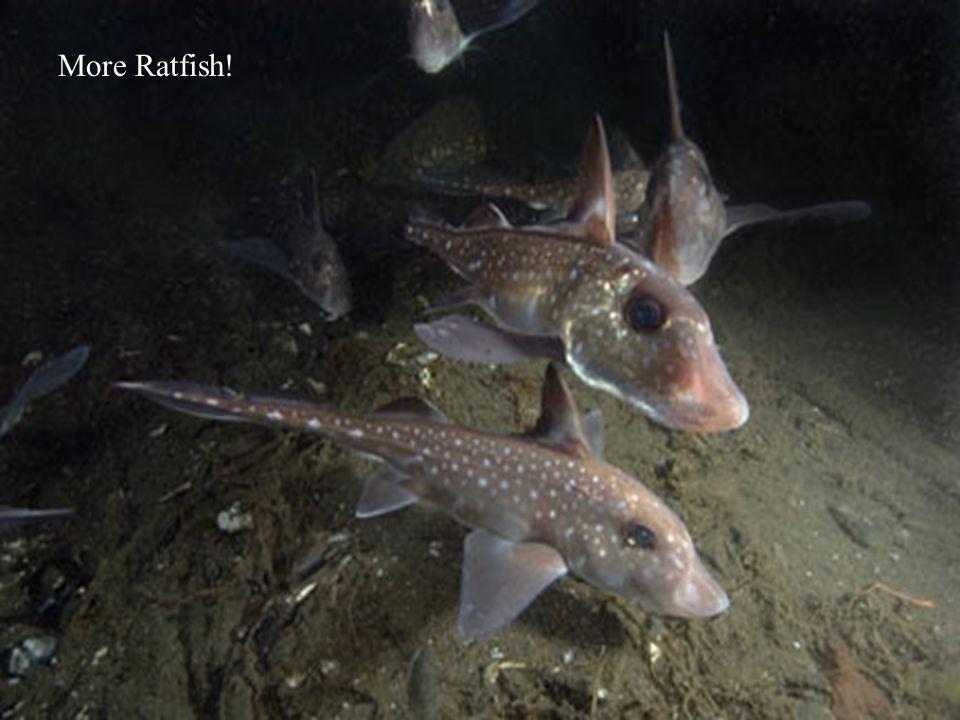 More Ratfish!