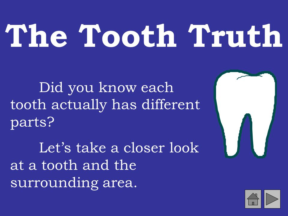 The Tooth Truth Did you know each tooth actually has different parts